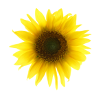 Calendar Girls sunflower